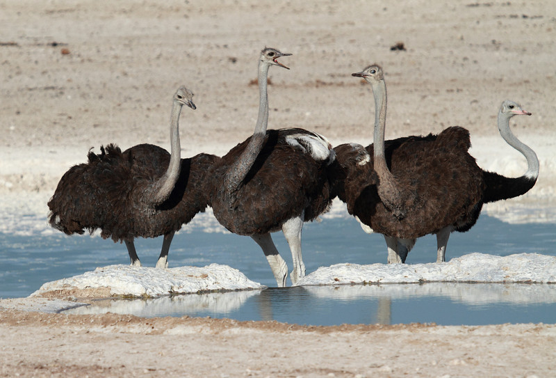 Ostriches at the Nebrowni waterhole