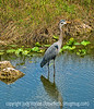 A great blue heron at Royal Palm in the Everglades; best viewed in the largest sizes