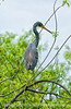Great blue heron; best viewed in the largest sizes