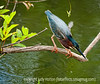 Little green heron; best viewed in the largest sizes