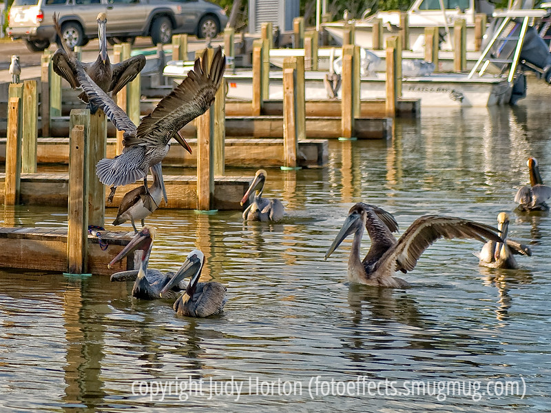 Pelicans in the Everglades, waiting for the fishing boats to come in; best viewed in the largest sizes