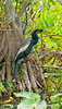 Anhinga; best viewed in the largest sizes