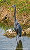 Great blue heron at Royal Palm in the Everglades; best viewed in the largest sizes