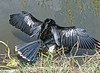 Anhinga drying its wings in the Everglades; best viewed in the largest sizes