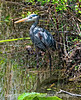 Great Blue  Heron in the Everglades; best viewed in the largest sizes