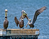 Pelicans; best viewed in the largest sizes