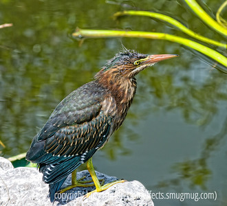 Everglades Birds and Reptiles