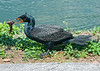 This cormorant is beating this fish against the ground; best viewed in the largest sizes