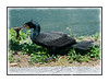 A cormorant has just caught a fish at the Royal Palm visitor center in the Everglades in Florida.