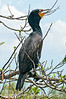Cormorant; best viewed in the largest sizes
