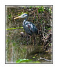 A juvenile great blue heron at the Royal Palm visitor center in the Everglades in Florida; view in the largest sizes to see the detail.