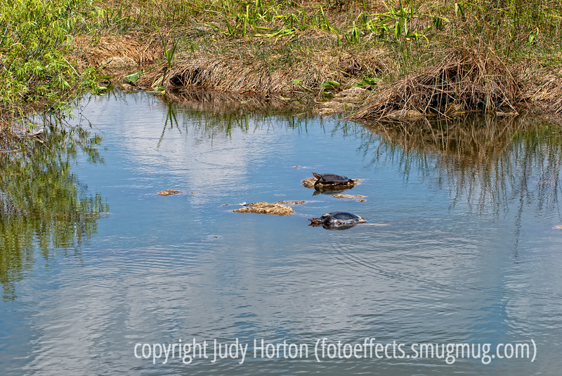 Turtles in the Everglades at Royal Palm; best viewed in the largest sizes