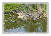 Count the alligators...and these were not all of them.  As my eye travelled down the canal, there were alligators everywhere.  These were all I could get into the frame with the lens that I had brought with me.  View in the largest sizes to see the alligators up close.