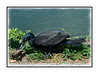 A cormorant with a catfish; it appears to be beating it on the ground, but it is really just trying to get it into position for swallowing.  It has to go down head first or the fins will stick in the throat and choke them to death.