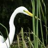 Greate White Egret