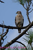 B96. Roadside Hawk 2 (Buteo magnirostris) No post-processing done to photo. Nikon NEF (RAW) files available. NPP Straight Photography at noPhotoShopping.com