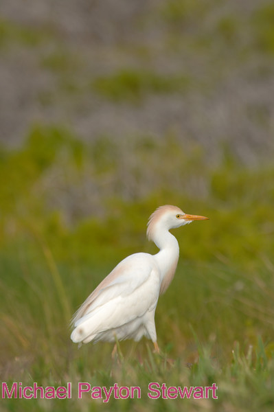 B153. Cattle Egret. No post-processing done to photo. Nikon NEF (RAW) files available. NPP Straight Photography at noPhotoShopping.com