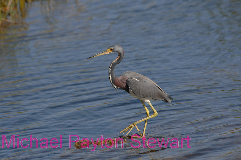 B127. Tricolored Heron. No post-processing done to photo. Nikon NEF (RAW) files available. NPP Straight Photography at noPhotoShopping.com