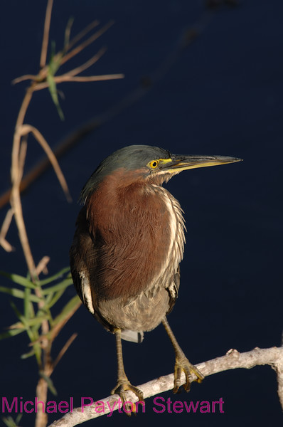 B88. Green Heron Stare. No post-processing done to photo. Nikon NEF (RAW) files available. NPP Straight Photography at noPhotoShopping.com