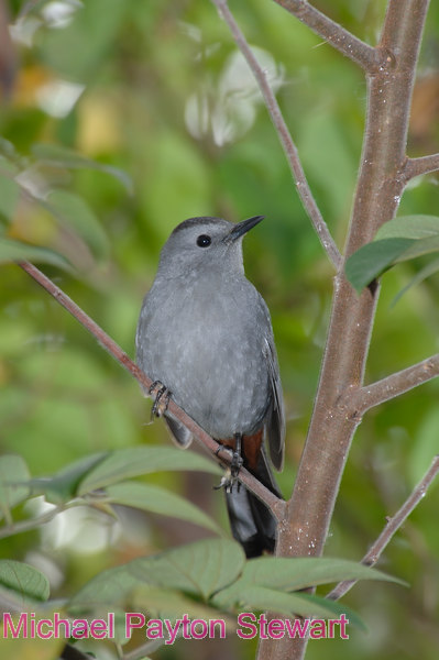 B129. Gray Catbird (Dumetella carolinensis). No post-processing done to photo. Nikon NEF (RAW) files available. NPP Straight Photography at noPhotoShopping.com