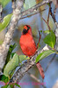 B18. Northern Cardinal (Cardinalis cardinalis) No post-processing done to photo. Nikon NEF (RAW) files available. NPP Straight Photography at noPhotoShopping.com