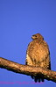 B6. Red-shouldered Hawk (Buteo lineatus) Nikon F5, 80-400mm VR on Velvia 50 slide film. I guarantee that this photo was not digitally enhanced only cropped. NPP Straight photography at noPhotoShopping.com