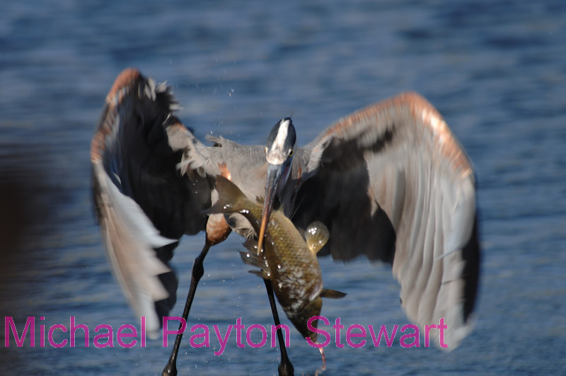 B101. Great Blue Heron with fish 3. No post-processing done to photo. Nikon NEF (RAW) files available. NPP Straight Photography at noPhotoShopping.com