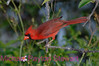 B27. Northern Cardinal 4 (Cardinalis cardinalis) No post-processing done to photo. Nikon NEF (RAW) files available. NPP Straight Photography.net