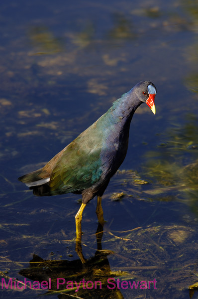 B15. Purple Gallinule. No post-processing done to photo. Nikon NEF (RAW) files available. NPP Straight Photography at noPhotoShopping.com