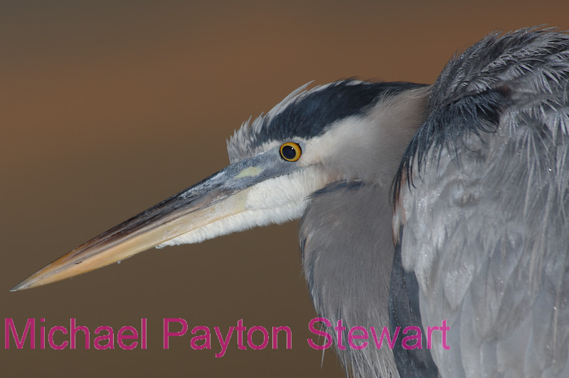 B74. Great Blue Heron focused. No post-processing done to photo. Nikon NEF (RAW) files available. NPP Straight Photography at noPhotoShopping.com