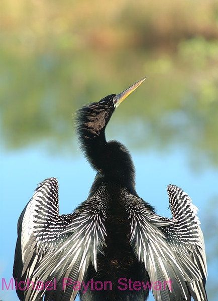 B10. Anhinga.  No post-processing done to photo, only cropped. Nikon NEF (RAW) files available. NPP Straight photography at noPhotoShopping.com
