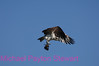 B93. Osprey with fish. No post-processing done to photo. Nikon NEF (RAW) files available. NPP Straight Photography at noPhotoShopping.com
