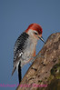 B35.  Red-bellied Woodpecker 3. No post-processing done on photo. Nikon NEF (RAW) files available. NPP Straight Photography at noPhotoShopping.com