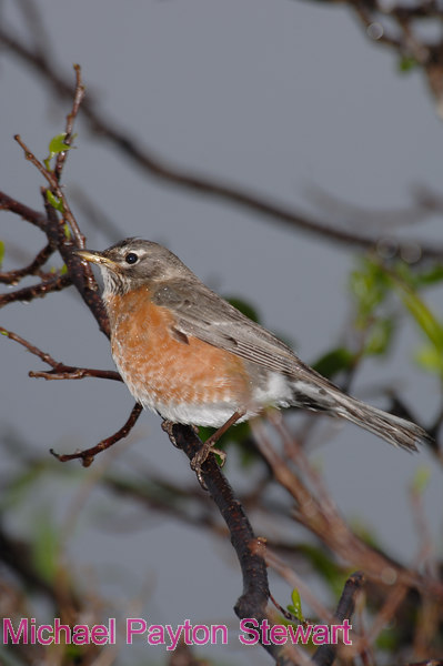 B111. American Robin in the rain. No post-processing done to photo. Nikon NEF (RAW) files available. NPP Straight Photography.net