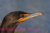 B87. Double-crested Cormorant 3 (Phalacrocorax auritus) No post-processing done to photo. Nikon NEF (RAW) files available. NPP Straight Photography at noPhotoShopping.com