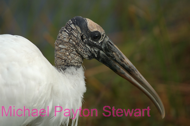 B13. Wood Stork (Mycteria americana) No post-processing done to photo. Nikon NEF (RAW) files available. NPP Straight Photography at noPhotoShopping.com