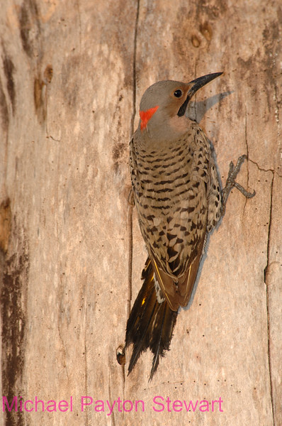 B28. Northern Flicker (Colaptes auratus auratus). No post-processing done on photo. Nikon NEF (RAW) files available. NPP Straight Photography at noPhotoShopping.com