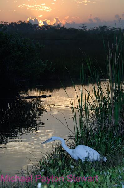 B23. Royal Palm at sunrise. No post-processing done to photo. Nikon NEF (RAW) files available. NPP Straight Photography at no PhotoShopping.com