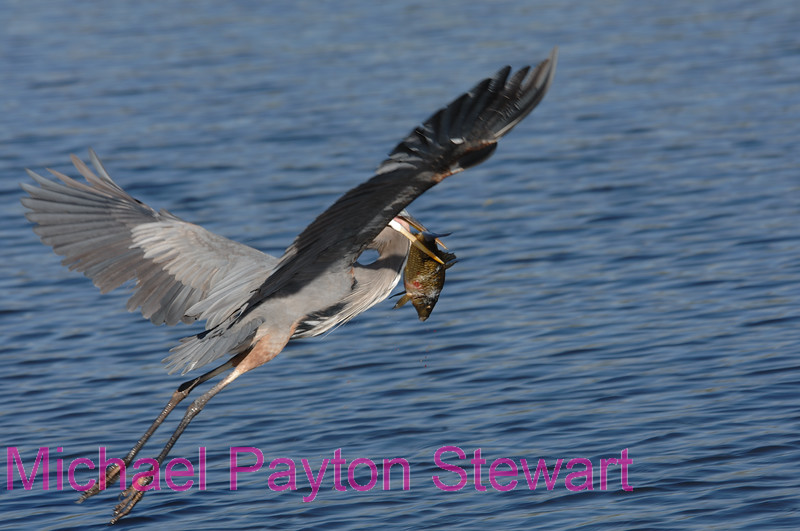 B1. Great Blue Heron with fish. No post-processing done to photo. Nikon NEF (RAW) files available. NPP Straight Photography at noPhotoShopping.com