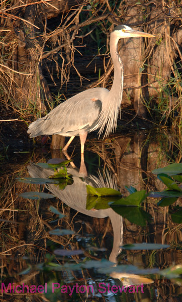 B11. Great Blue Heron 2 (Ardea herodias) No post-processing done on photo, only cropped. Nikon NEF (RAW) files available. NPP Staight Photography at noPhotoShopping.com