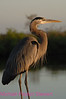 B95. Great Blue Heron. No post-processing done to photo. Nikon NEF (RAW) files available. NPP Straight Photography at noPhotoShopping.com