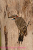B22. . Northern Flicker (Colaptes auratus auratus). No post-processing done on photo. Nikon NEF (RAW) files available. NPP Straight Photography at noPhotoShopping.com