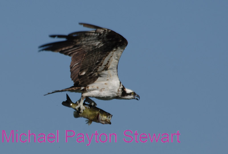 B91. Osprey with Big Black-bass. No post-processing done to photo, only cropped. Nikon NEF (RAW) files available. NPP Straight photography at noPhotoshopping.com.