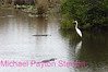 B72. Alligators chase Great Egret. No post-processing done to photo. Nikon NEF (RAW) files available. NPP Straight Photography at noPhotoShopping.com