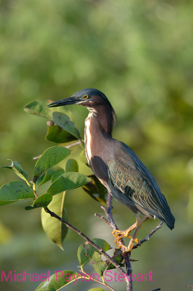 B99.  Green Heron. No post-processing done to photo. Nikon NEF (RAW) files available. NPP Straight Photography at noPhotoShopping.com