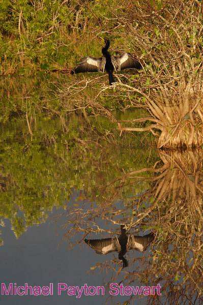 B113. Anhinga reflection. No post-processing done to photo. Nikon NEF (RAW) files available. NPP Straight Photography.net