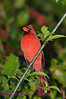 B98. Northern Cardinal 8 (Cardinalis cardinalis) No post-processing done to photo. Nikon NEF (RAW) files available. NPP Straight Photography at noPhotoShopping.com