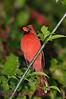 B98. Northern Cardinal 8 (Cardinalis cardinalis) No post-processing done to photo. Nikon NEF (RAW) files available. NPP Straight Photography.net