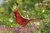 B25. Northern Cardinal 3 (Cardinalis cardinalis) No post-processing done to photo. Nikon NEF (RAW) files available. NPP Straight Photography at noPhotoShopping.com
