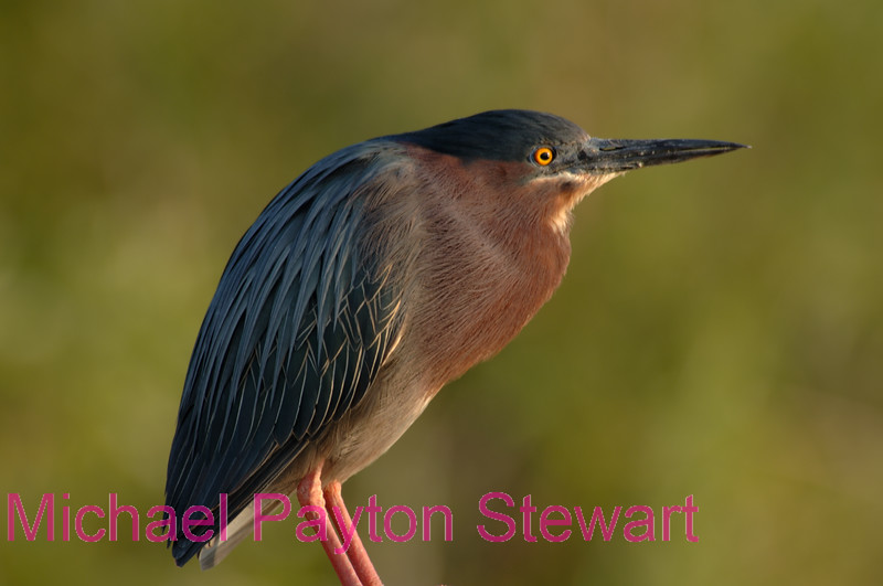 B24. Green Heron 2. No post-processing done to photo. Nikon NEF (RAW) files available. NPP Straight Photography at noPhotoShopping.com